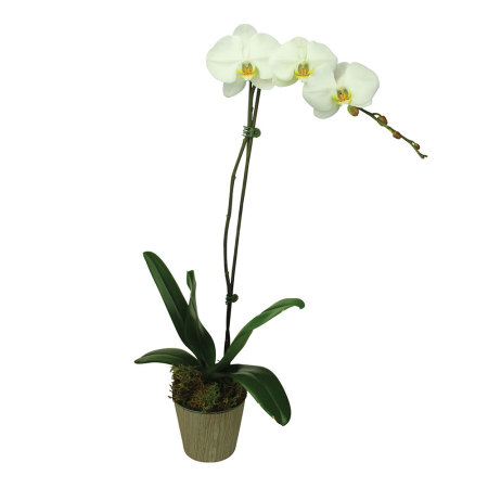 Fresh Orchid Plant Delivery Sydney