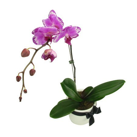 Baby Orchid Pot Pink
