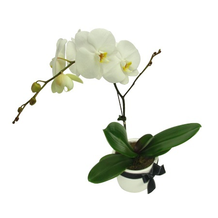 Baby Orchid Pot White