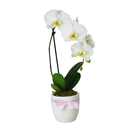 Mothers Day Orchid Plant in White