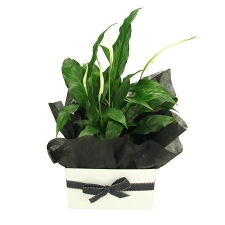 Spathiphyllum Plant - Indoor Plant